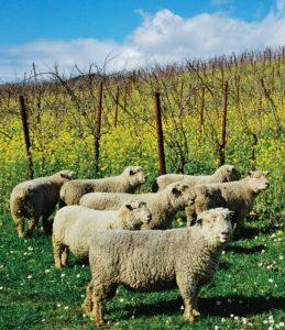 Vineyard Sheep